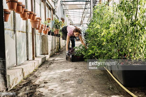 Gardener picking carte with plants in greenhouse
