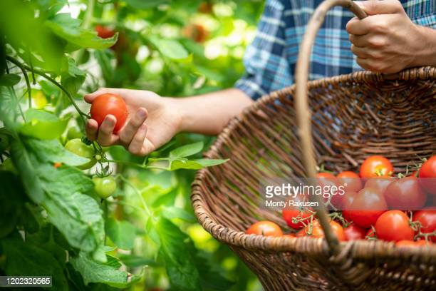 gardener picking ripe crimson crush tomatoes in late summer in greenhouse of organic vegetable garden - harvesting stock pictures, royalty-free photos & images