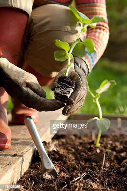Gardener Planting on Bean Plants