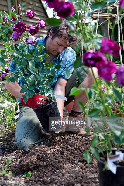 Gardener Planting Purple Rose Bushes in Flower Bed