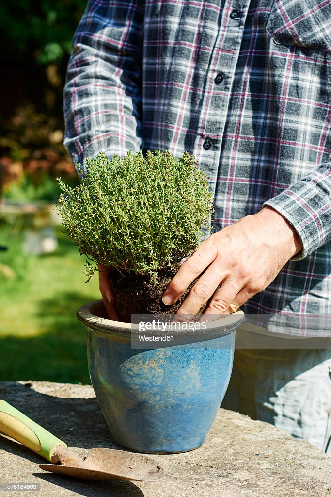 Gardener planting thyme in a pot : Stock Photo