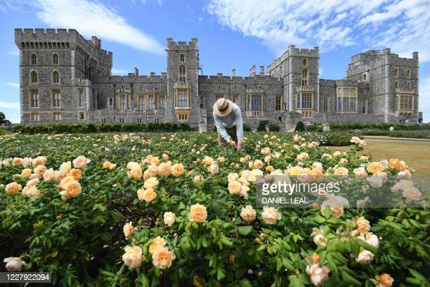 Gardener poses whilst pruning roses during a photocall in the East Terrace Garden at Windsor Castle in Windsor on August 5, 2020. - The East Terrace...