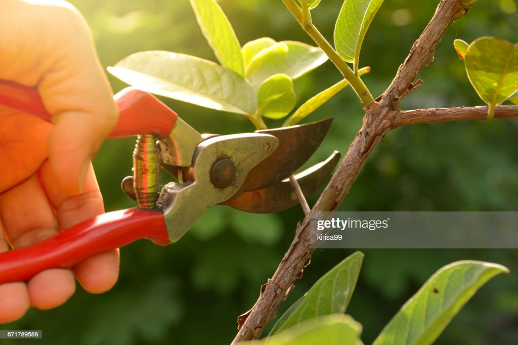 gardener pruning trees with pruning shears on nature background. : Stock Photo