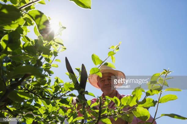 gardener pruning twigs of apple tree with hedge trimmer - obstbaum stock-fotos und bilder