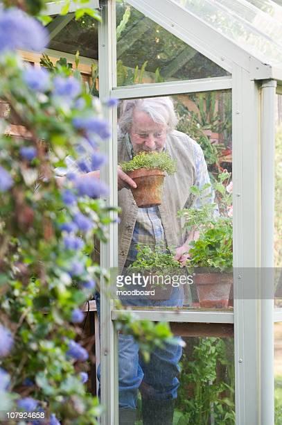 gardener smells fresh herbs - streatham stock pictures, royalty-free photos & images