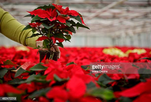 A gardener sorts poinsettia at the greenhouse of The Silva Tarouca Research Institute for Landscape and Ornamental Gardening on November 29 2013 in...