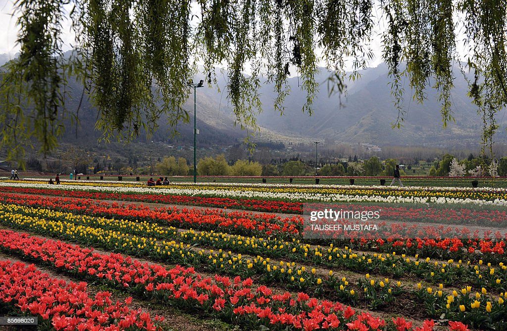 A Gardener Tends Flowers In The Tulip Garden Which Is Claimed To Be Asia S Largest