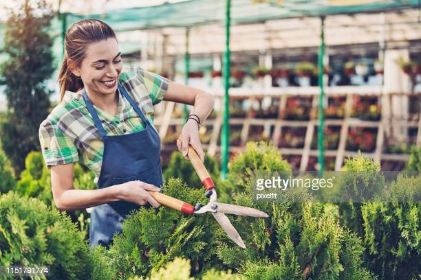 gardener trimming evergreen bushes - coniferous tree stock pictures, royalty-free photos & images