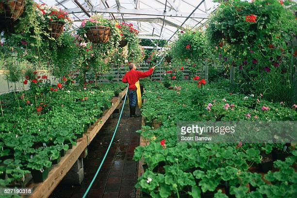 gardener watering plants in a greenhouse - red tube top stock photos and pictures