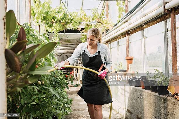 Gardener watering plants with pipe in greenhouse