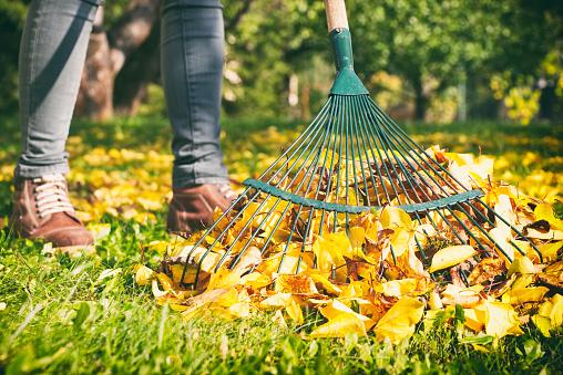 Gardener woman raking up autumn leaves in garden. Woman standing with rake. 998706206
