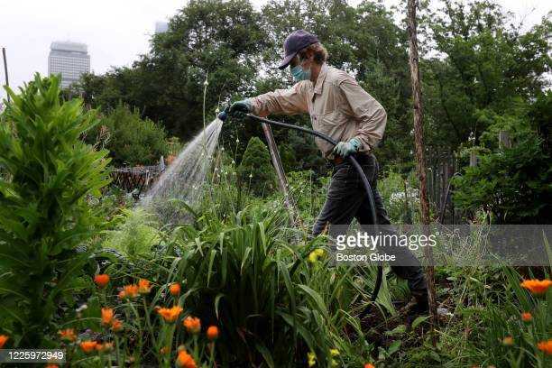 A gardener works in his plot at the Fenway Victory Gardens in Boston MA on July 08 2020 He and his wife have have had the plot for 15 years and grow...