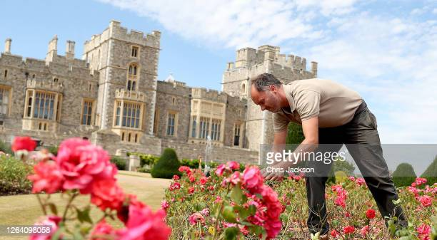 Gardener works on a rose bed as Windsor Castle's East Terrace Garden prepares to open to the public at Windsor Castle on August 05, 2020 in Windsor,...