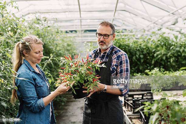 Gardeners checking potted plant in greenhouse
