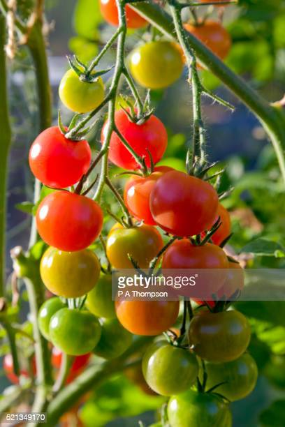 gardeners delight tomatoes in various stages of ripening - tomato stock pictures, royalty-free photos & images