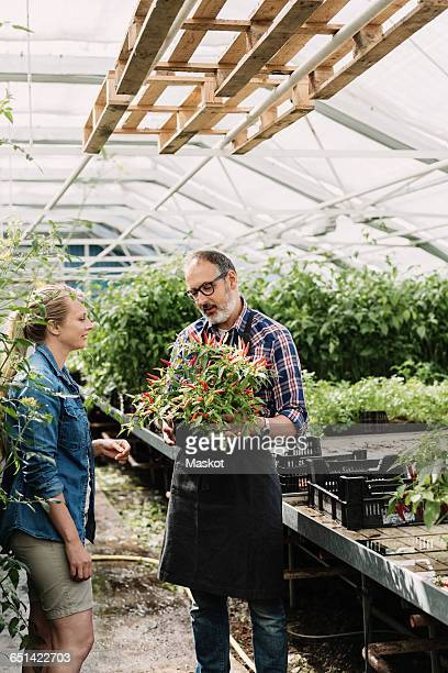 Gardeners examining chili peppers growing on potted plant in greenhouse