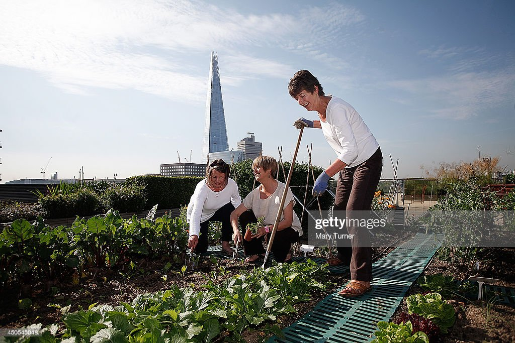 Gardeners (l-r) Tessa Palmer, Linda Moneham and Eileen Arrowsmith tend to a row of turnips, on the Nomura rooftop gardens, which are opening to the public for the first time as part of Open Garden Squares Weekend 2014, on June 13, 2014 in London, England. Nomura's 6th floor terrace garden with panoramic views across the Thames is one of over 200 usually private gardens which members of the public will be able to explore between June 14th and 15th 2014.