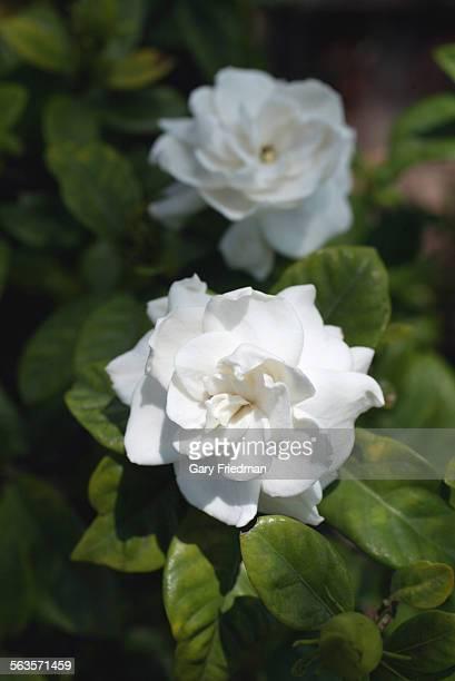 A gardenia in the garden of LA Times reporter Emily Green