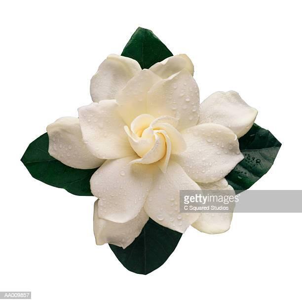 Gardenia with Dew Close-up