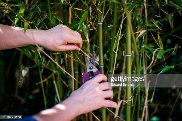 gardening - a woman cuts a bamboo tree in a garden - edward berthelot photos et images de collection