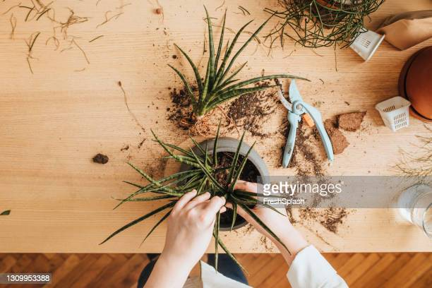 gardening as a hobby: unrecognizable  plus size woman planting aloe vera at home - green thumb stock pictures, royalty-free photos & images