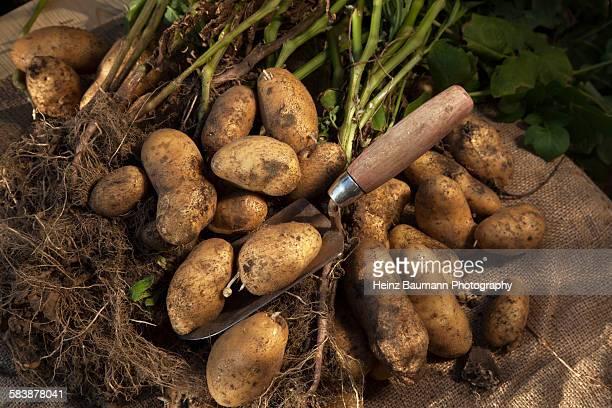 Gardening, crop of potatoes