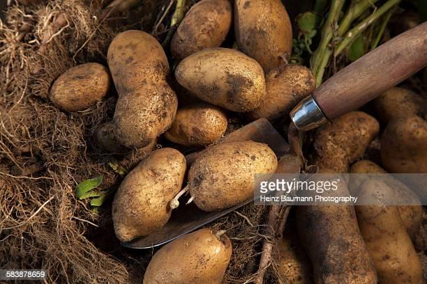 Gardening, crop of potatoes (Agria)