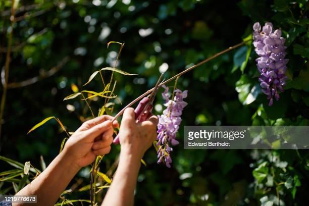 gardening - cutting wisteria - glicine foto e immagini stock