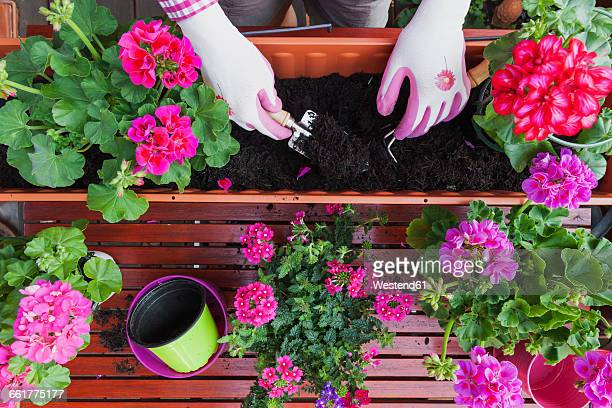 Gardening, different spring and summer flowers, flower box and gardening tools, potting