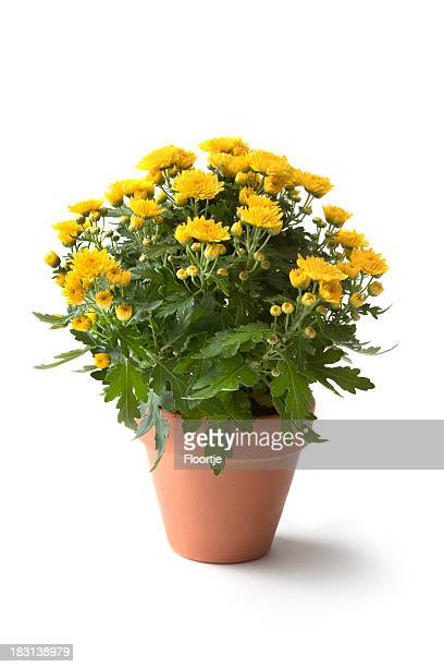 gardening: flowers - pot plant stock pictures, royalty-free photos & images