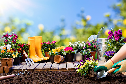 Gardening - Gardener Planting Pansy With With Flowerpots And Tools 920111432