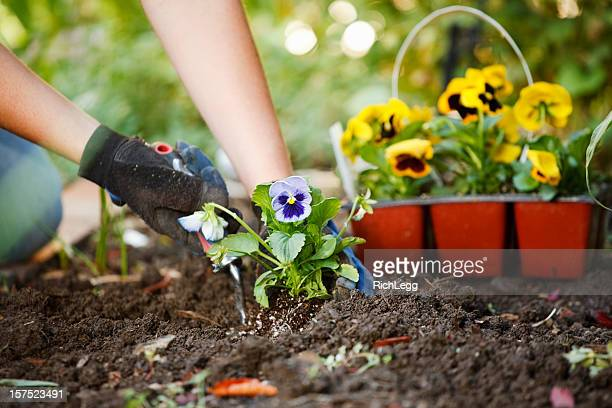 gardening hands - pansy stock pictures, royalty-free photos & images