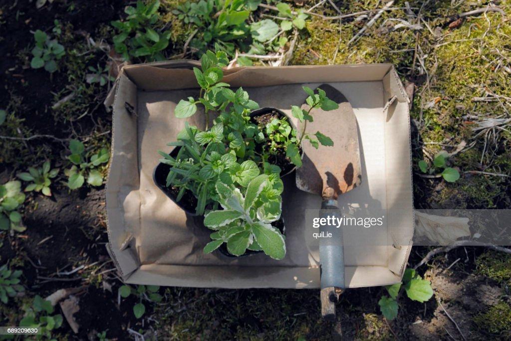 Gardening herbs in garden : Stock Photo