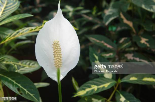 gardening - peace lily stock pictures, royalty-free photos & images