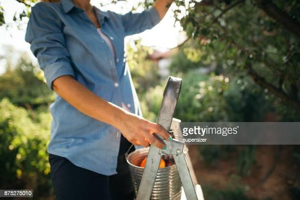 tuinieren - fruitboom stockfoto's en -beelden