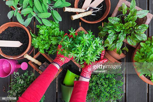Gardening, potting medicinal and kitchen plants