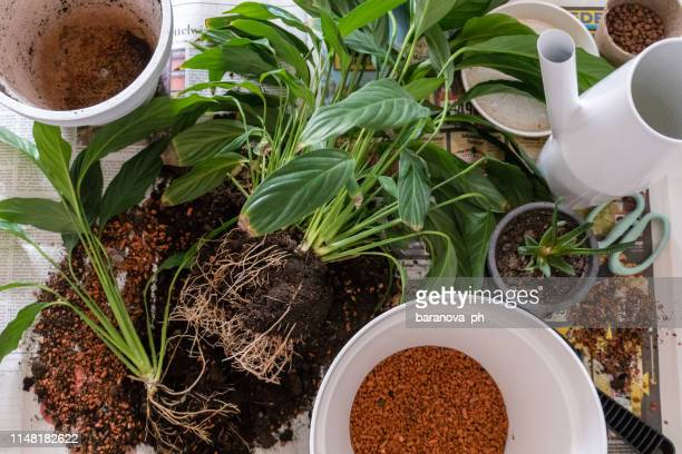 gardening, preparing plants and soil for repotting on newspaper - peace lily stock pictures, royalty-free photos & images