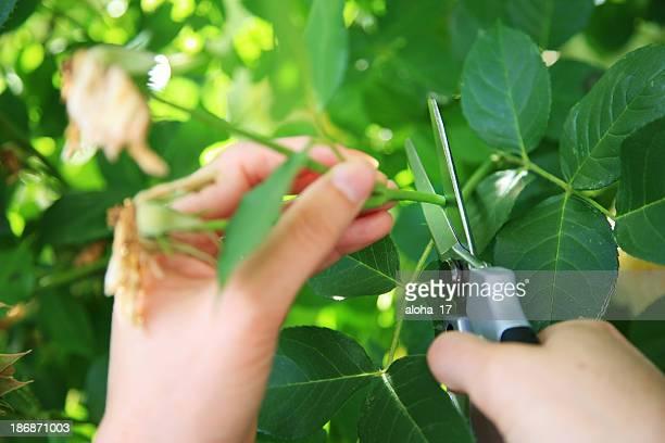 Gärtnern Stutzen der Rosen
