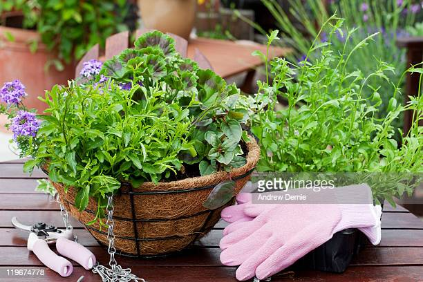 gardening summer bedding plants - andrew dernie stock pictures, royalty-free photos & images