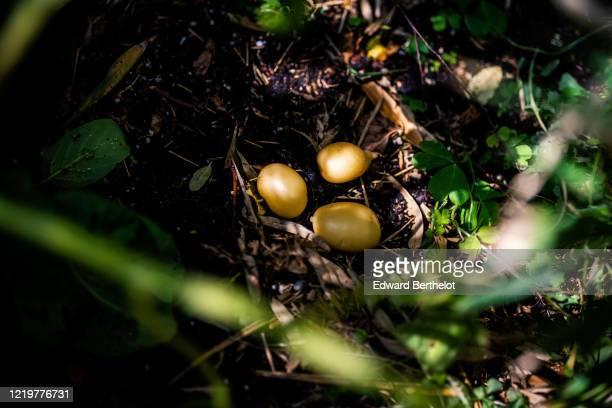 gardening - young potatoes - edward berthelot photos et images de collection