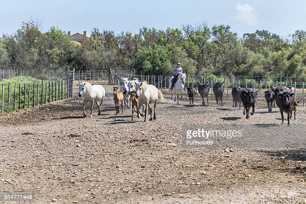 Gardian Galloping with white horses and bulls