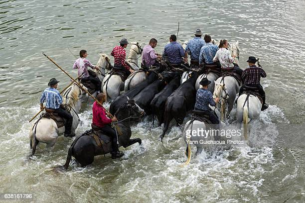 gardians running with a herd of bulls, camargue, france - ガール県 ストックフォトと画像