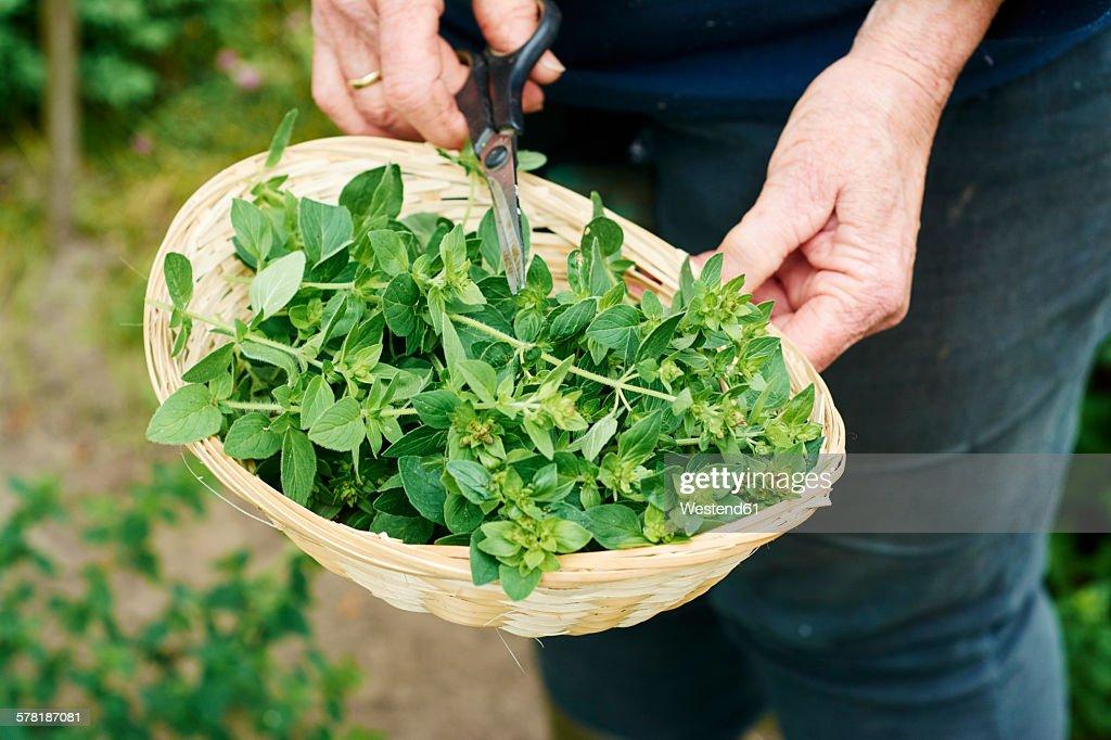 Gardner harvesting oregano in a herb garden : Stock Photo