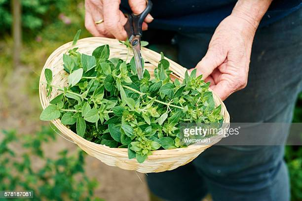 Gardner harvesting oregano in a herb garden