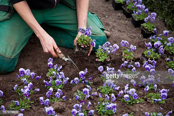 gardner's hands planting pansies. - pansy stock pictures, royalty-free photos & images