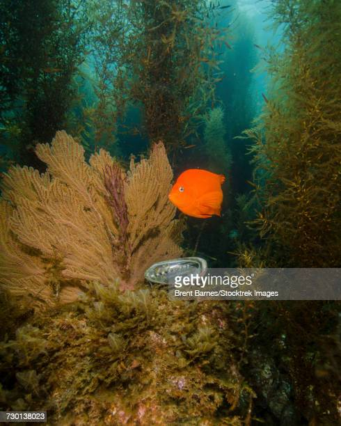 A Garibaldi (Hypsypops rubicundus) and green abalone in a kelp forest, Catalina Island, California