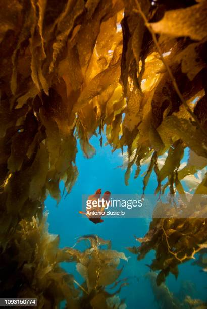 garibaldi fish - aquatic organism stock pictures, royalty-free photos & images