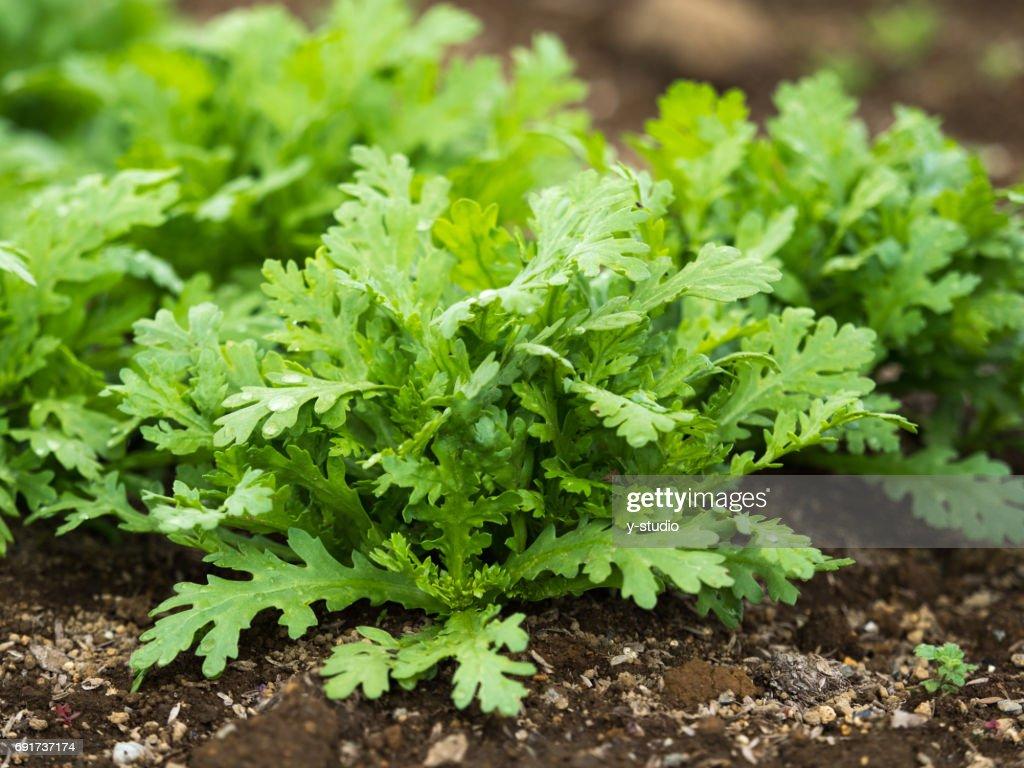 garland chrysanthemum : Stock Photo