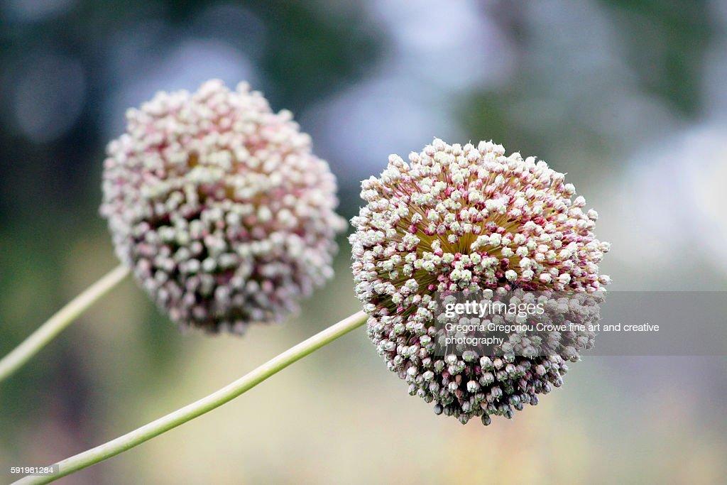 Garlic Flower : Stock Photo