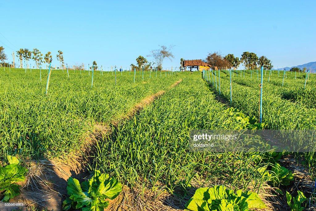 garlic plantation : Stock Photo